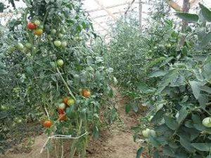 tomaten-infolientunnel